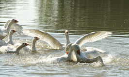 Fighting geese on the river Royalty Free Stock Photography