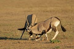 Fighting Gemsbok. Two male gemsbok antelopes (Oryx gazella) fighting for territory, Kalahari desert, South Africa Royalty Free Stock Photo