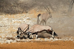 Fighting gemsbok antelopes Royalty Free Stock Photography