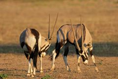 Fighting Gemsbok, Kalahari desert, South Africa. Two male gemsbok antelopes (Oryx gazella) fighting for territory, Kalahari desert, South Africa Royalty Free Stock Photo