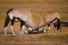 Fighting Gemsbok (Oryx gazella). Two male Gemsbok (Oryx gazella) fighting Royalty Free Stock Photography