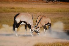Fighting Gemsbok (Oryx gazella). Male Gemsbok (Oryx gazella) fighting against each other (Kalahari desert, South Africa Stock Photography
