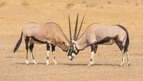 Fighting Gemsbok. A pair of gemsbok fighting in the Kgalagadi Transfrontier Park, situated in the Kalahari Desert which straddles South Africa and Botswana Stock Photos