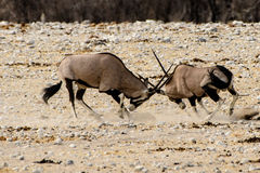 Fighting Gemsbok testing each others strength. Battling Gemsbok testing each others strength Stock Photo
