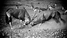 Fighting gemsbok. Two gemsbok fighting in the desert of Namibia Africa Royalty Free Stock Photos