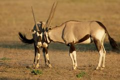 Fighting Gemsbok. Two male gemsbok antelopes (Oryx gazella) fighting for territory, Kalahari desert, South Africa Royalty Free Stock Photography