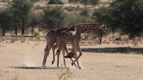 Fighting giraffe bulls. Two giraffe bulls (Giraffa camelopardalis) fighting, Kalahari desert, South Africa stock video