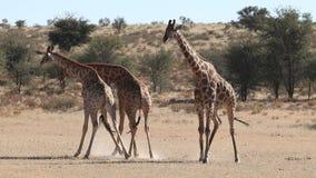 Fighting giraffe bulls stock footage