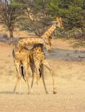 Fighting Giraffe in the Kalahari. Giraffe fighting in the Kgalagadi Transfrontier Park, situated in the Kalahari Desert which straddles South Africa and Botswana Royalty Free Stock Photo