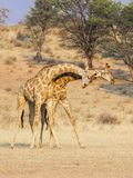 Fighting Giraffe. Giraffe fighting in the Kgalagadi Transfrontier Park, situated in the Kalahari Desert which straddles South Africa and Botswana Stock Photo