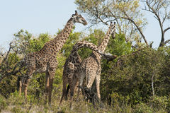 Fighting Giraffes Stock Photography