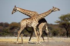 Fighting giraffes kicking up dirt Royalty Free Stock Images