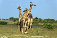 Fighting giraffes Royalty Free Stock Photo