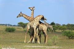 Fighting giraffes Stock Images