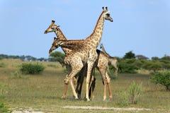 Fighting giraffes Stock Image