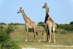 Fighting giraffes Stock Photo