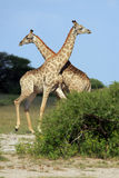 Fighting giraffes Stock Photography