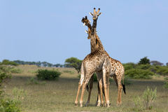 Fighting giraffes. In the Nxai Pan Nationalpark Royalty Free Stock Image