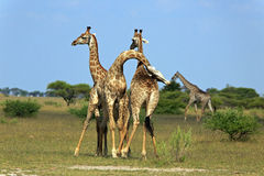 Fighting giraffes. In the Nxai Pan Nationalpark Royalty Free Stock Photos