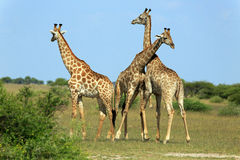 Fighting giraffes. In the Nxai Pan Nationalpark Stock Photography