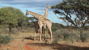 Fighting giraffes. Two giraffe bulls (Giraffa camelopardalis) fighting, South Africa stock footage
