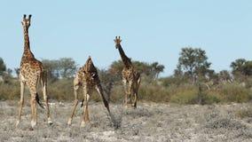 Fighting giraffes. Two giraffe bulls (Giraffa camelopardalis) fighting, South Africa stock video footage