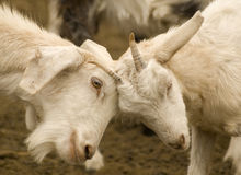 Fighting goats Royalty Free Stock Photo