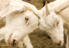 FIGHTING GOATS Stock Photography