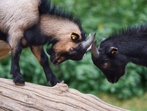 Fighting goats. Two small goats standing on a tree trunk fighting each other Royalty Free Stock Images