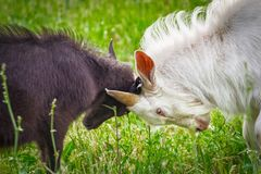 Fighting of goats Stock Photos