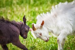 Fighting of goats Stock Images