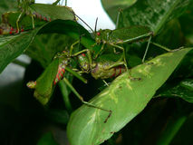 Fighting Grashoppers. Three fighting grasshoppers on a leaf stock images