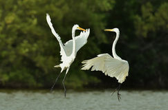 The fighting great egrets Royalty Free Stock Photography