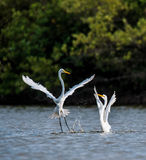 The fighting great egrets ( Ardea alba ). Stock Photography