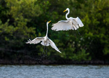 The fighting great egrets ( Ardea alba ). Stock Image