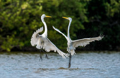 The fighting great egrets ( Ardea alba ) Stock Images