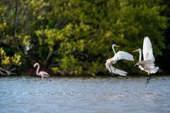 The fighting great egrets Stock Photos