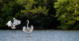 The fighting great egrets Royalty Free Stock Photos