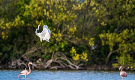 The fighting great egrets ( Ardea alba ). Stock Images