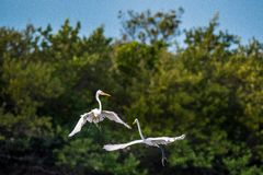 The fighting great egrets ( Ardea alba ). Stock Photo