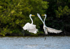 The fighting great egrets ( Ardea alba ). Royalty Free Stock Photography