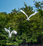 The fighting great egrets ( Ardea alba ). Royalty Free Stock Photos