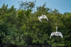 The fighting great egrets ( Ardea alba ). Royalty Free Stock Image