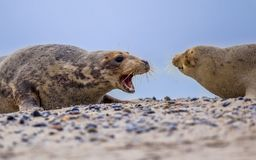 Free Fighting Grey Seal Males On Beach Royalty Free Stock Photography - 103285727