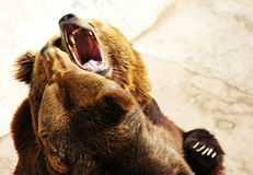 Fighting Grizzly Bear Royalty Free Stock Photo