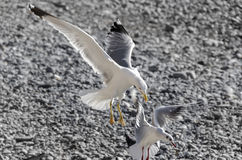 Fighting between gulls Royalty Free Stock Images