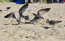 Fighting gulls Stock Images