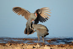 Fighting helmeted guineafowl Stock Image
