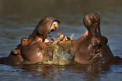 Fighting Hippo's. Two fighting hippos; Hippopotamus amphibius; South Africa Royalty Free Stock Images