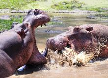 Fighting Hippopotamus in the Luangwa River in Zambia.  Lots of splashing water and mouth wide open Royalty Free Stock Photography